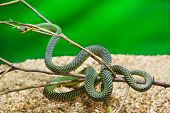 picture of anaconda  - Green snake in terrarium  - JPG