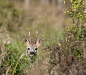 stock photo of roebuck  - Close up of roe deer with antlers in high grass - JPG
