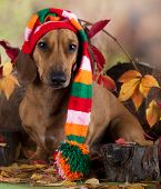 image of gnome  - dachshund in gnome hat - JPG