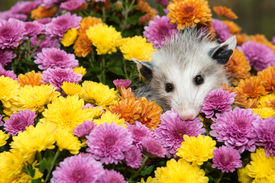 picture of opossum  - A Baby Opossum hiding in mums in the garden - JPG