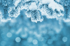image of winter trees  - Winter background with Christmas tree branch frozen - JPG