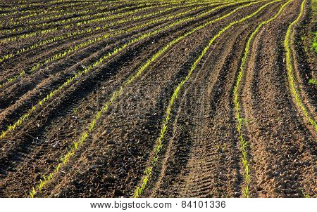 Fresh Seedlings In Rows