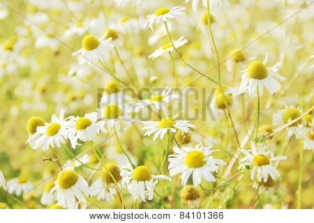 Wild Chamomile Flowers Outdoors