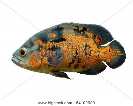 Oscar Fish Isolated Over White