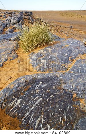 Old Fossil In  The Desert Of Morocco  Bush