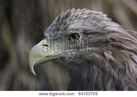 Bird of prey. Portrait of an eagle.