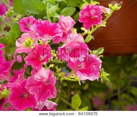 Mallow, Pink Flower