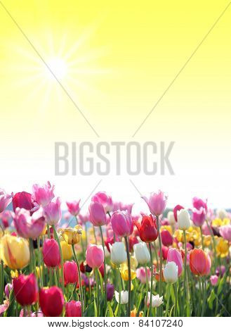 Sunny Background With Tulip Blossoms