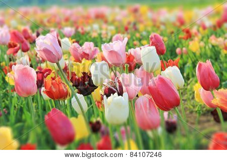 Colorful Tulip Field, Gradient Sharpness