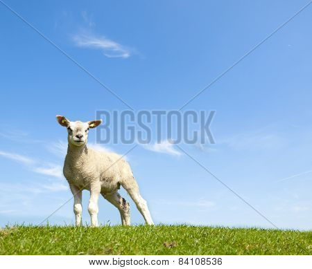 Spring Image Of A Young Lamb On A Green Meadow