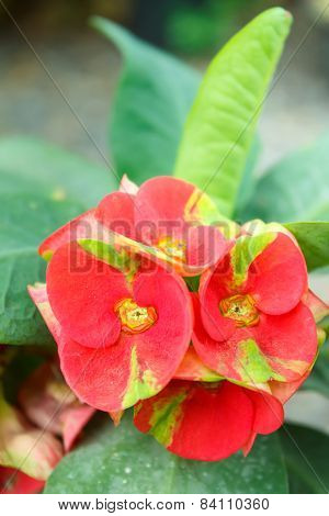 Crown Of Thorns Flowers.