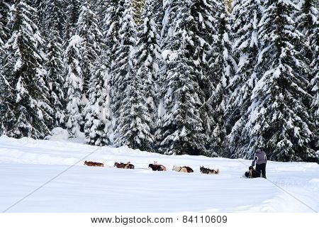 Dog Sledding In The Wood - Dolomiti