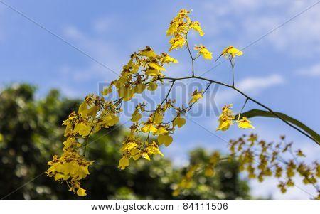 Oncidium Orchid With Beauty Sky
