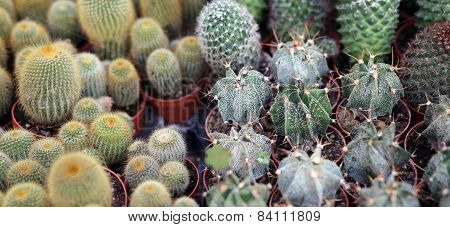 Cactus Plants For Sale In The Greenhouse The Florist
