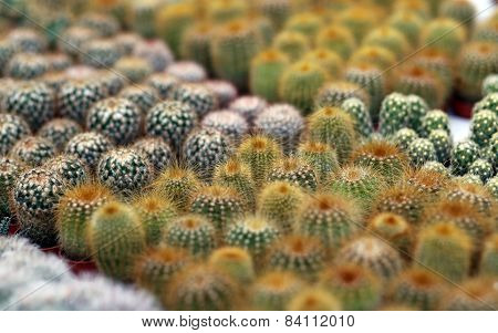Series Of Cactus Plants For Sale From Florist