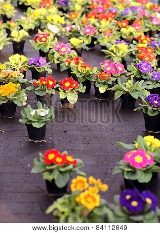 Pots Of Primroses And Violets For Sale In The Greenhouse