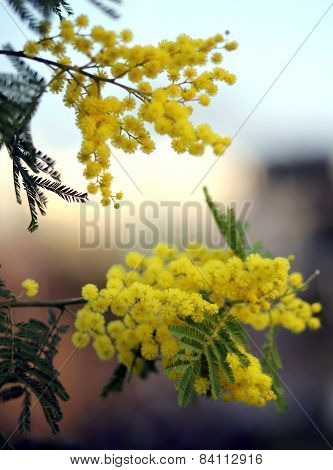 Mimosa Branches With Yellow Flowers