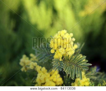 Yellow Flowers Of Mimosa Acacia Tree