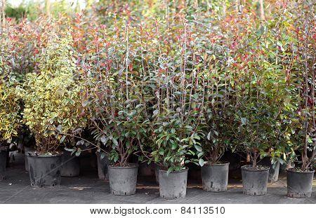Jasmine Plants For Sale In Spring