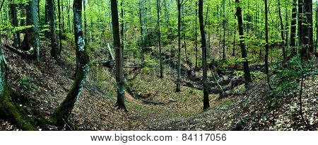 Primeval beech forest