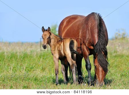 Draft Mare And Foal In Summer Pasture