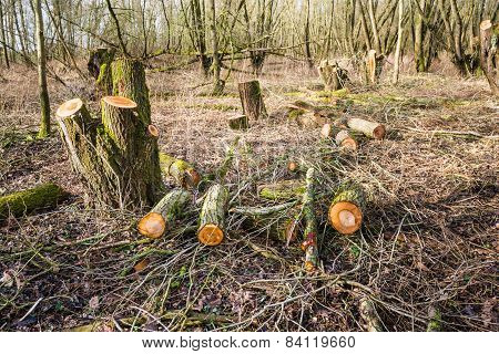 Tree Stumps In The Forest