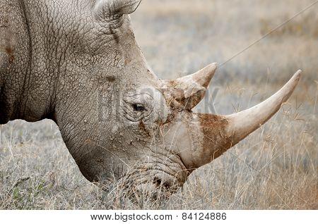 Rhinocores