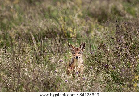 Curious But Shy Jackal