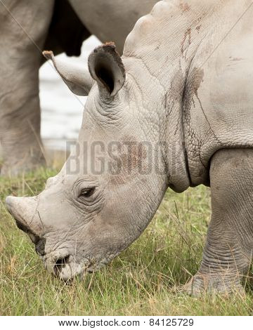 Young Rhino Grazing