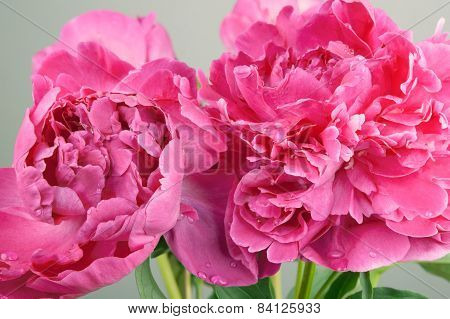 Big pink peonies with dew drops