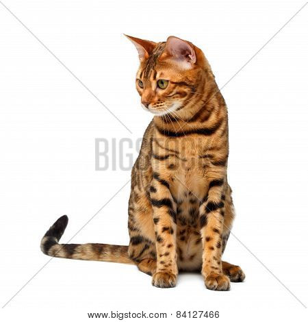 Bengal Cat Sitting And Looking Down On White