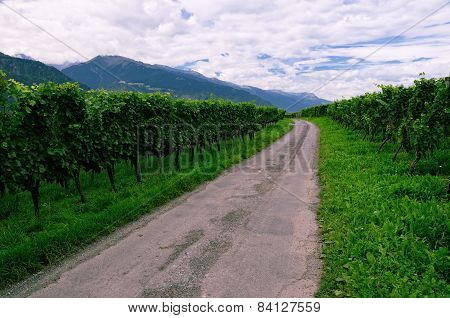 Vineyard in Rhine Valley, Switzerland, with Grapes Ripening
