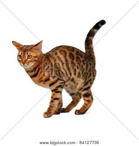 Bengal Cat Is Going To Crap On White