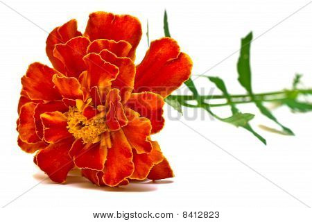 Beautiful Carnation