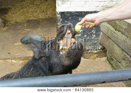 Black pig feeding