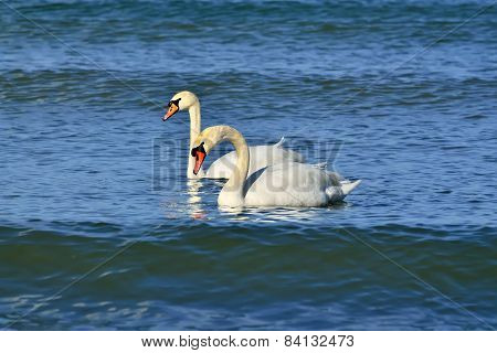 Two Young Mute Swan