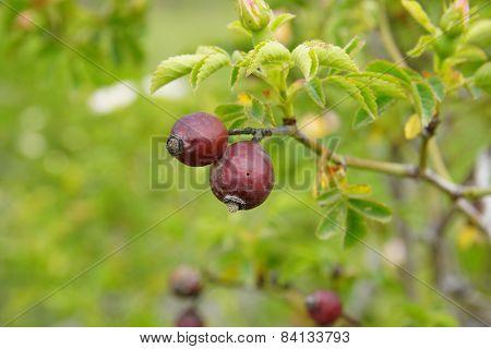 rosa canina fruits