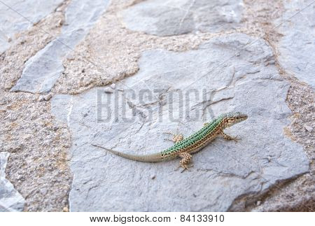 Endemic lizard on a rock