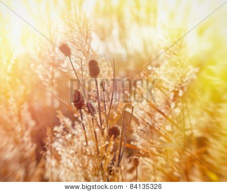 Dry thistle lit by sunlight
