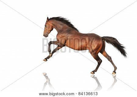 handsome brown stallion galloping, jumping. Thoroughbred horse isolated on white background