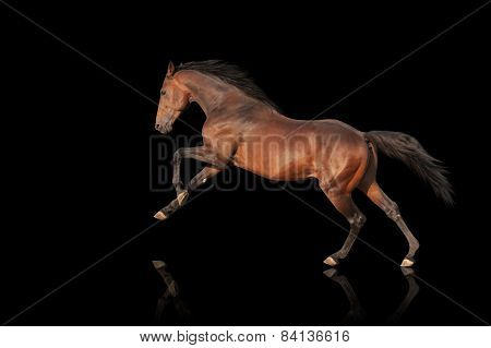 Beautiful powerful stallion galloping. Horse on a black background isolate