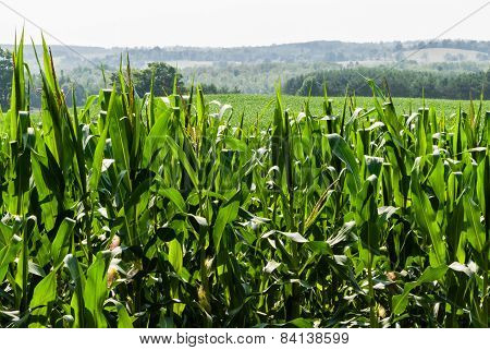 Corn Field Against Distant Hills