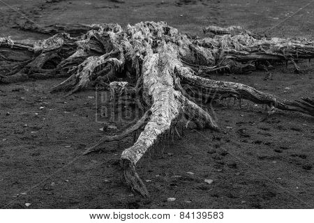 Alien, the dried root of the tree