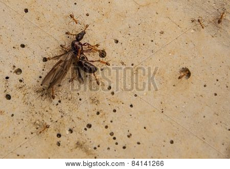 Ants Carry Insect To Nest