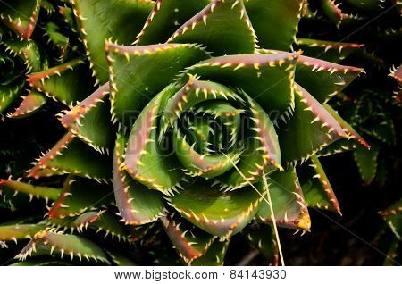 Green Succulent Flower
