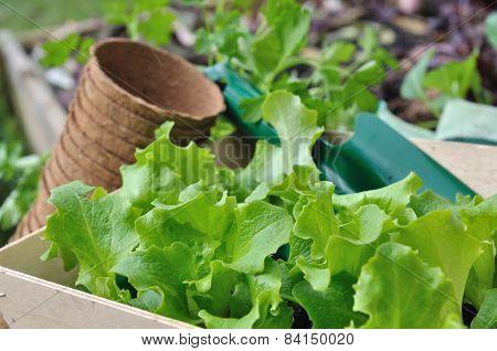 Lettuce Seelings