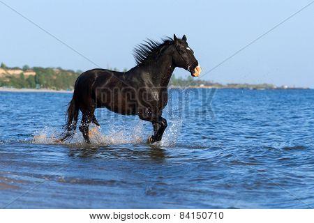 Black horse run in sea