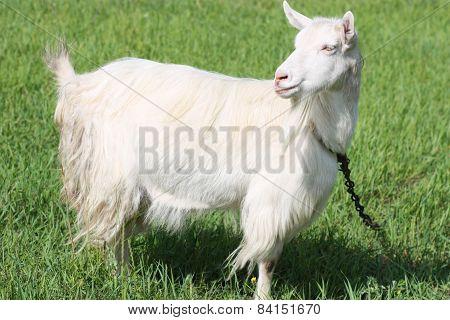 Goat On A Field