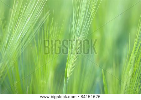 Green Wheat Spikelets