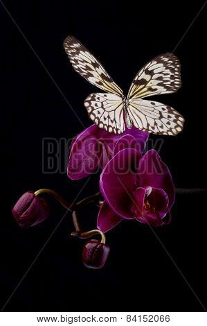Butterfly On Pink Orchids.